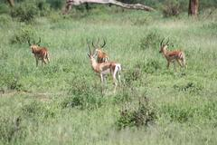 Grant's Gazelle with Impalas