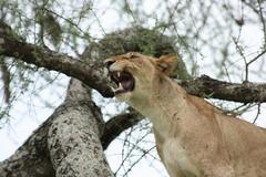 Three Lions in tree (Tarangire)