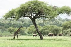 Giraffe under Acacia tree