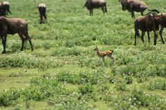 Baby Gazelle among Wildebeest