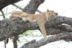 Young male Lion in tree