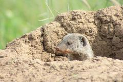 Banded mongoose in termite mound