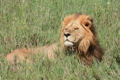 Male Lion (Serengetti)